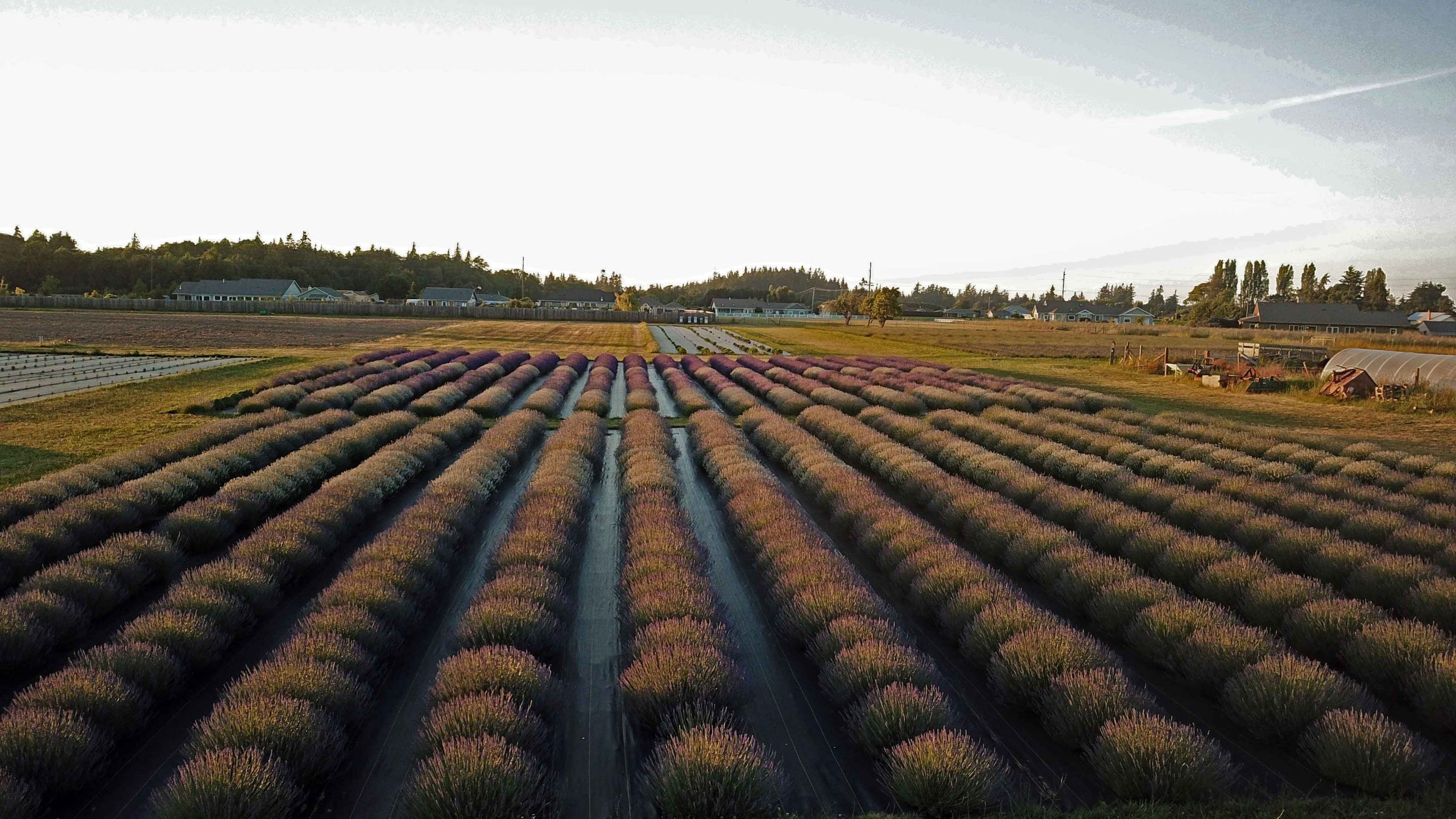 A Field of Different Lavenders