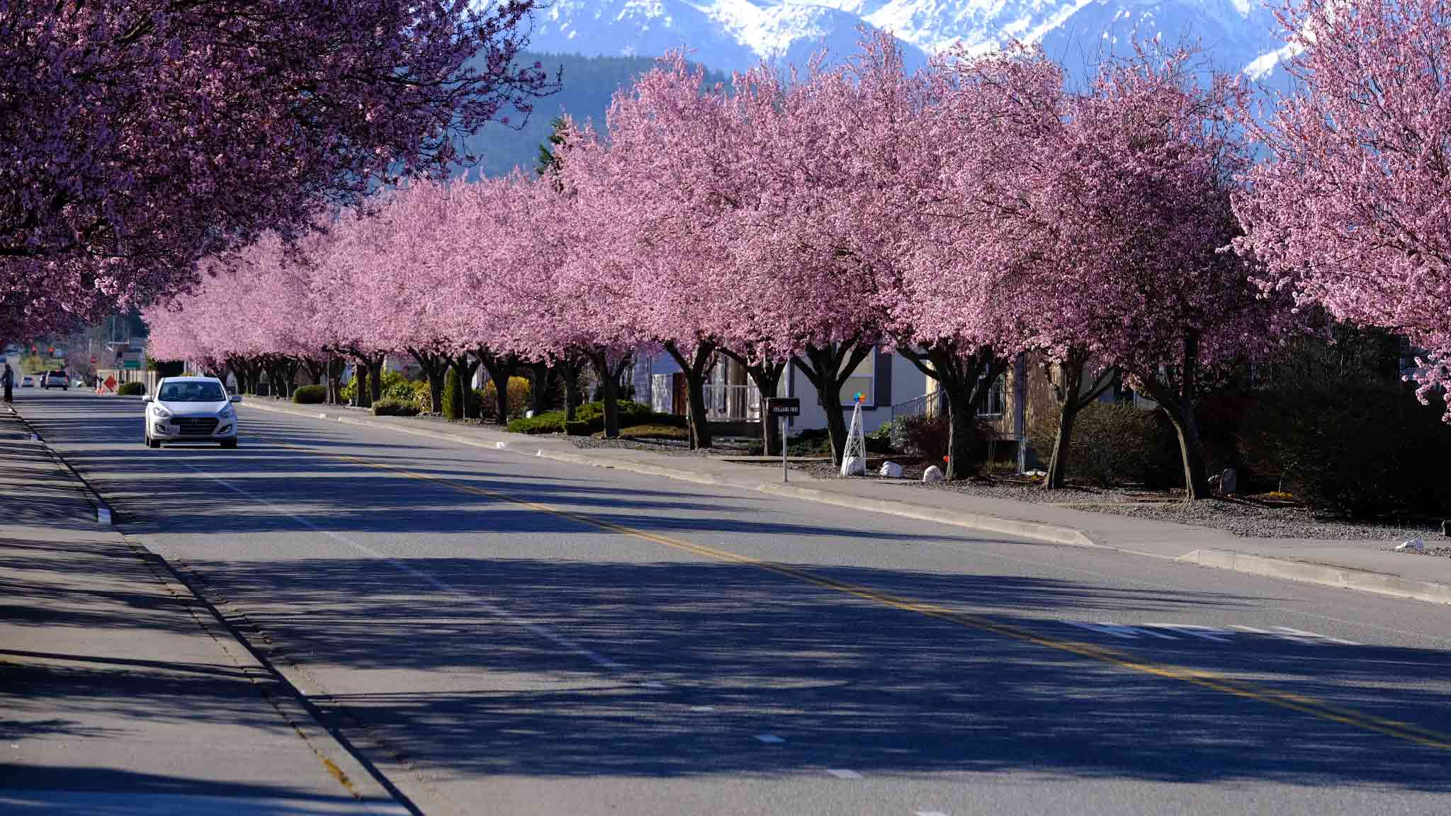 Cherry Blossoms Blooming in Sequim