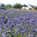 Folgate Lavender Blooming