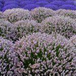 Hidcote Pink Lavender