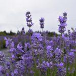 Maillette Lavender