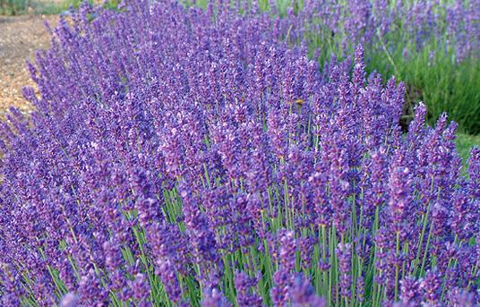 Seal lavender