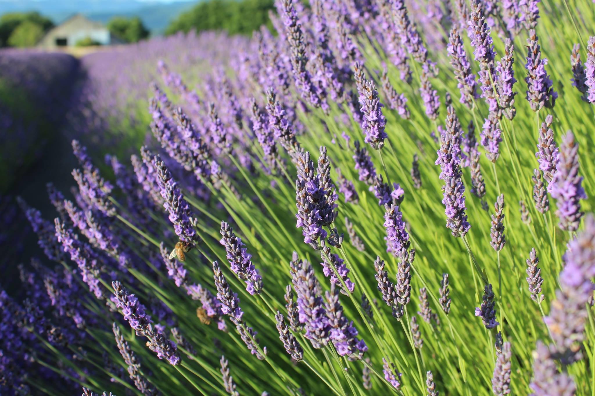 Grosso lavender fields