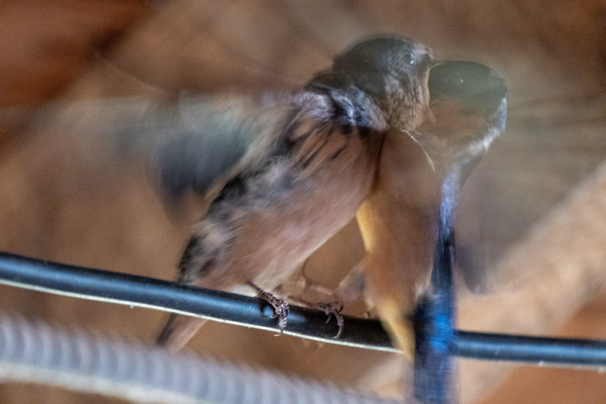 Barn Swallow Battle
