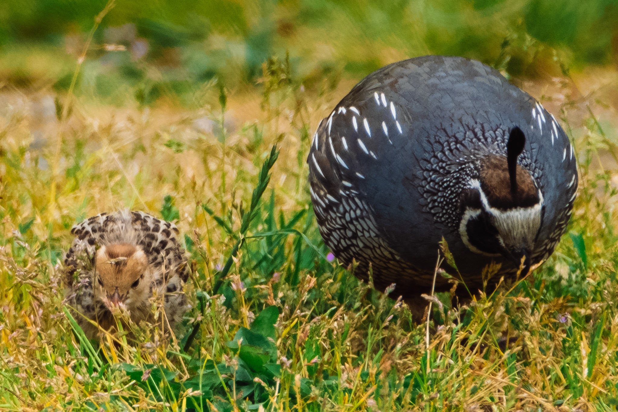 Daddy Quail with a Baby